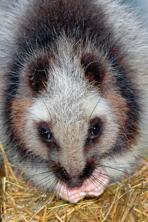 Phloeomys pallidus - Northern Luzon Giant Cloud Rat