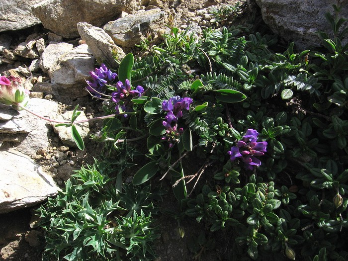 Oxytropis neglecta