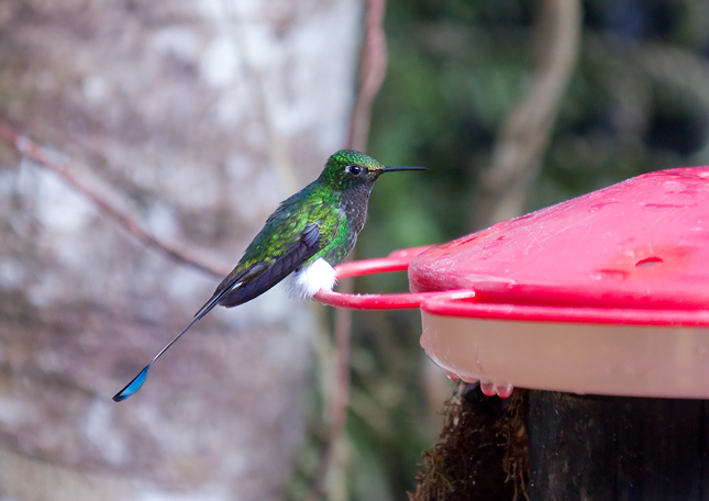 Ocreatus underwoodii - Booted Racquet-tail