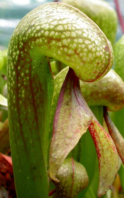 Darlingtonia californica - darlingtonie kalifornská