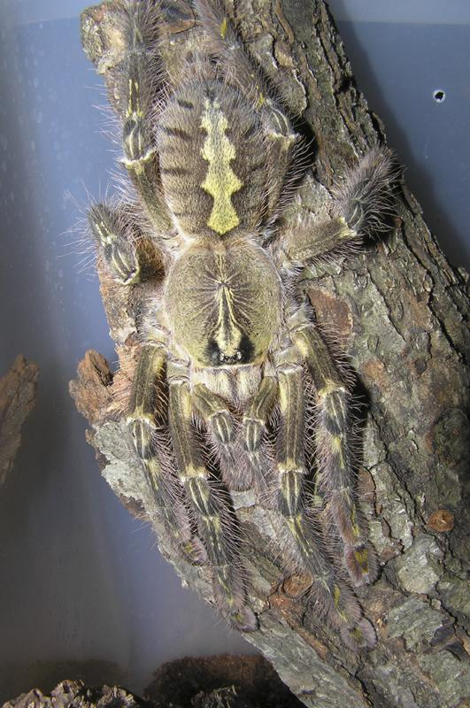 Poecilotheria rufilata - Slate-red Ornamental Tree Spider