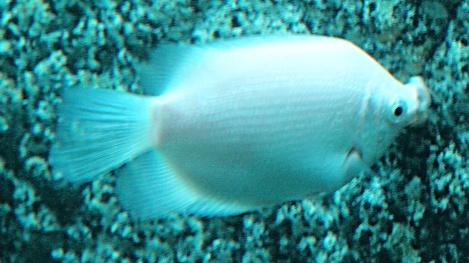Helostoma temminkii - Kissing gourami