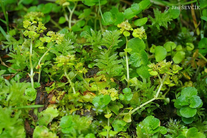 Chrysosplenium oppositifolium - Opposite-leaved Golden-saxifrage