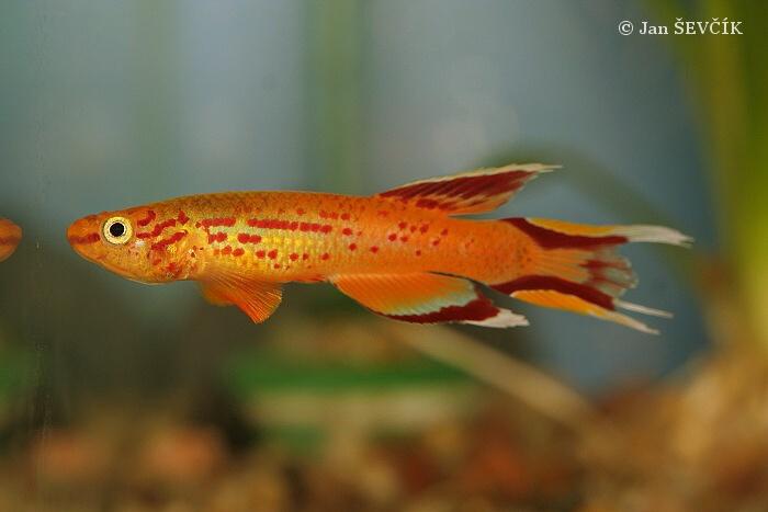 Image aphyosemion australe hjerreseni cape lopez for Poisson aquarium 30l