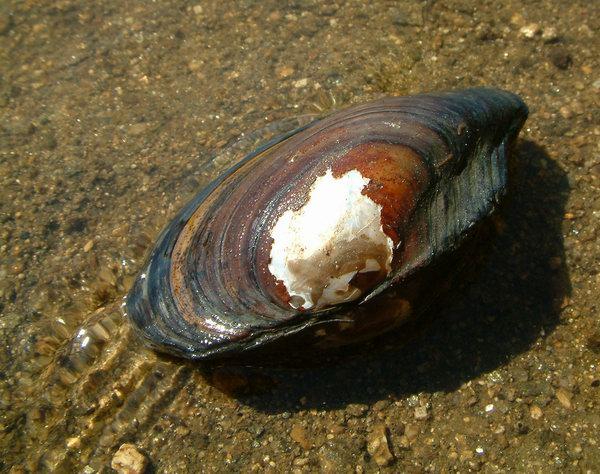 Anodonta anatina - škeble říční