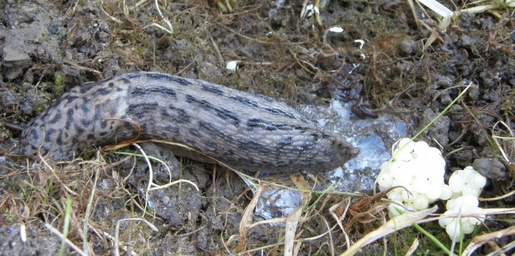 Limax maxima - Great Grey Slug