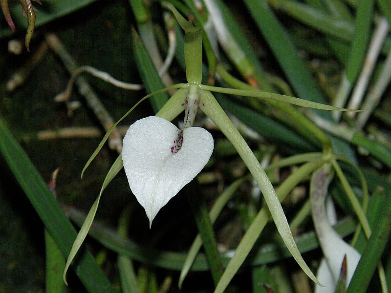 Brassavola nodosa - Lady of the Night Orchid