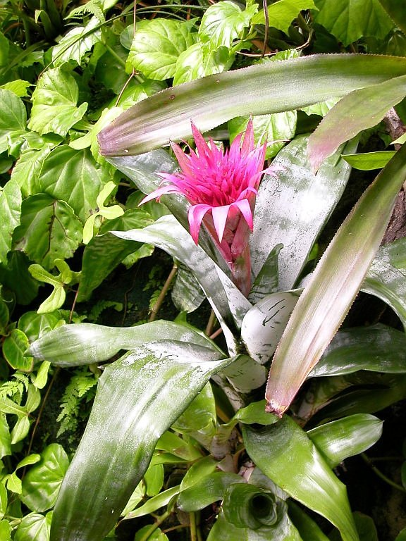 Image of Aechmea fasciata