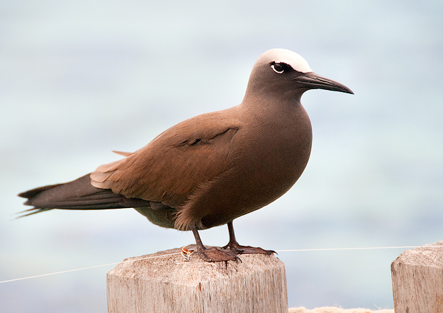 Anous stolidus - Brown Noddy