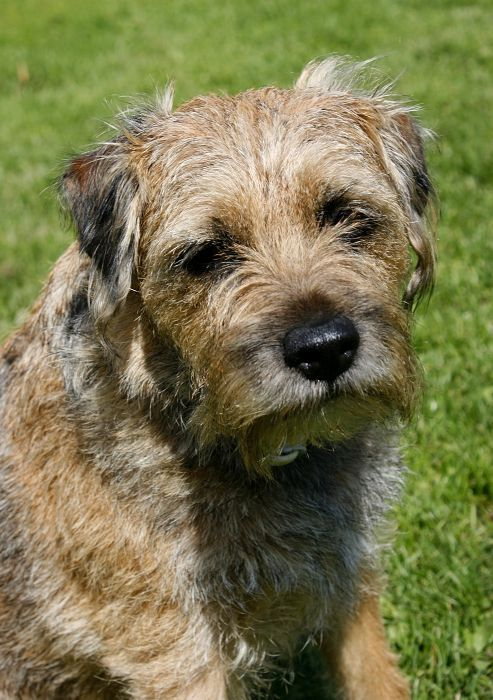 "Canis familiaris ""10 BRT Border Terrier"""
