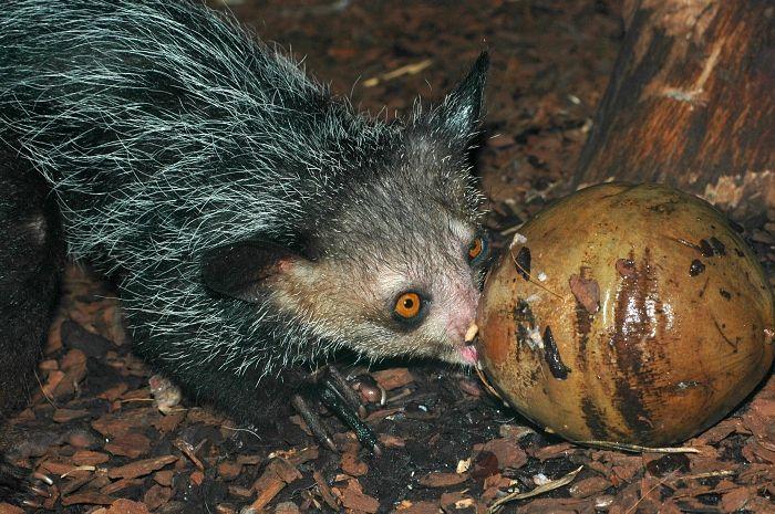 Daubentonia madagascariensis - ksukol ocasatý