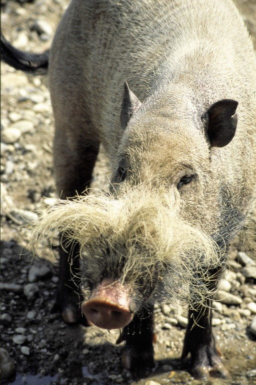 Sus barbatus - Bearded Pig