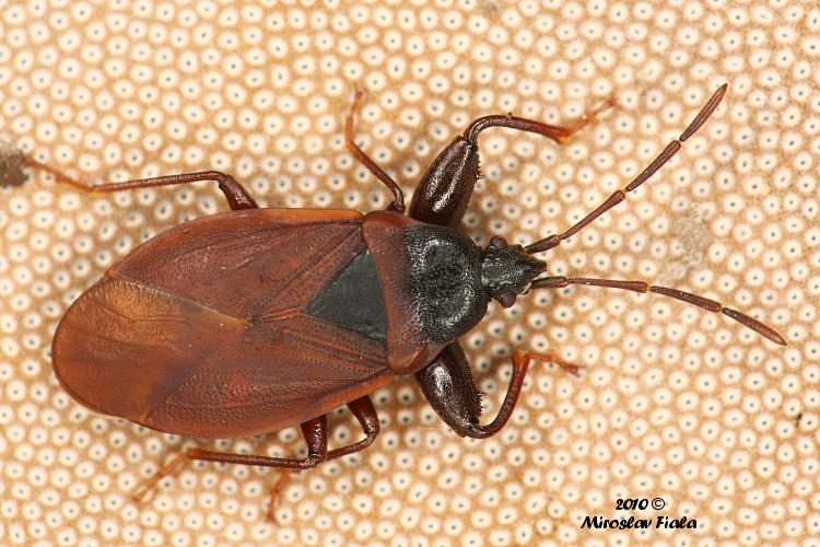 Gastrodes grossipes - Pine-cone Bug