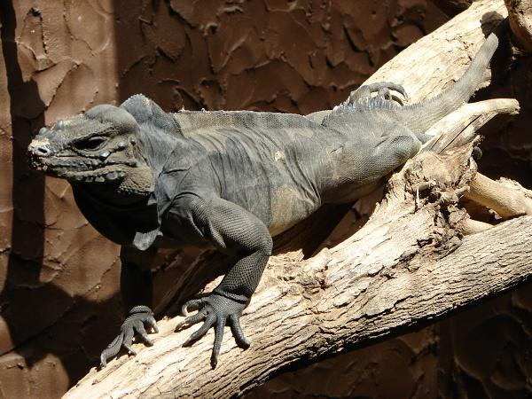 Cyclura cornuta - Horned Ground Iguana