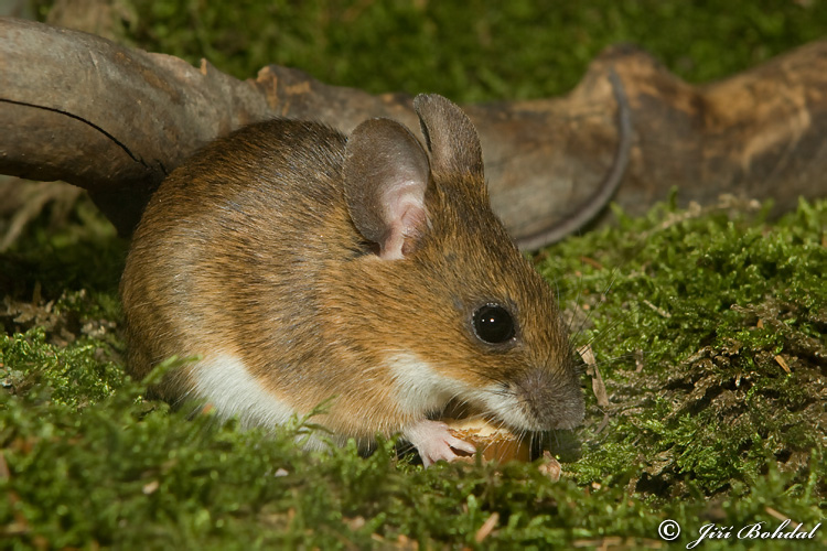 Apodemus flavicollis - Yellow-necked Field Mouse