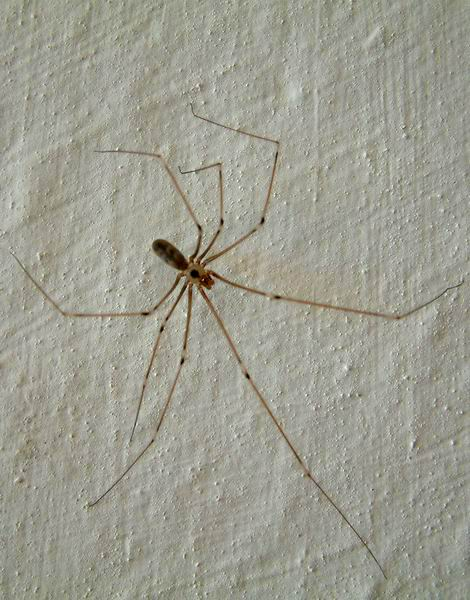 Pholcus phalangioides - Daddy-long-legs Spider