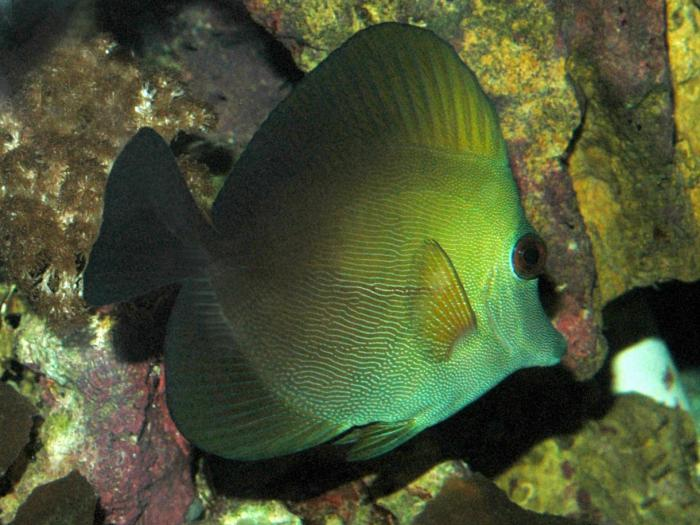 Zebrasoma scopas - Blue-lined Tang