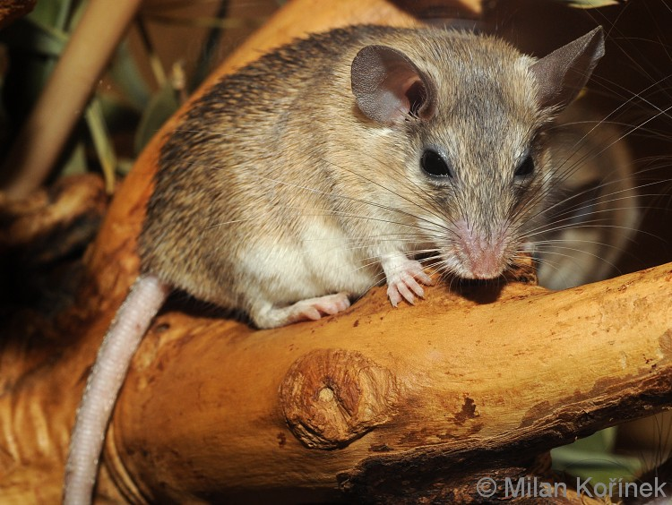 Acomys cilicicus - Asia Minor Spiny Mouse