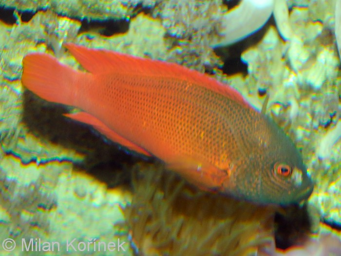 Labracinus lineatus - Lined Dottyback