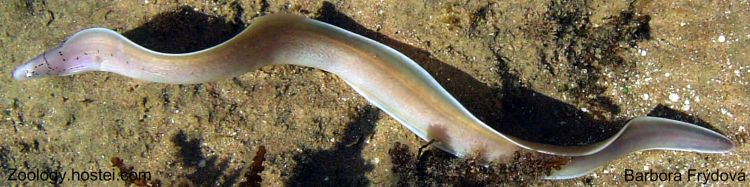 Gymnothorax griseus - muréna šedá