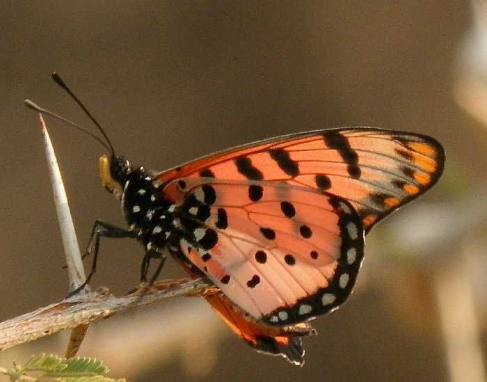 Acraea chilo