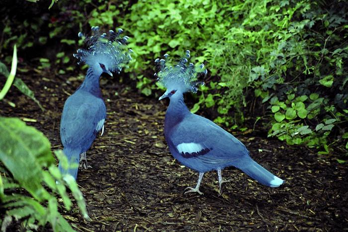 Goura victoria - Victoria Crowned-pigeon