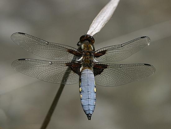 Libellula depressa - vážka ploská