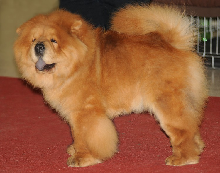 "Canis familiaris ""205 CHW Chow chow"" - Chow Chow"