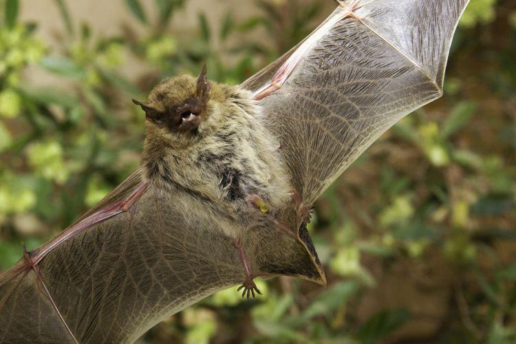 Pipistrellus kuhlii - Kuhl's Pipistrelle