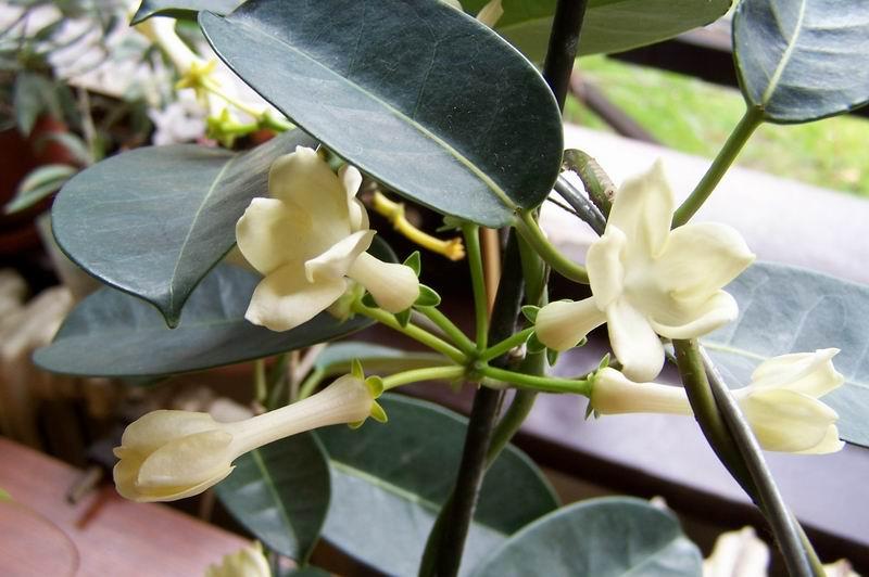 Stephanotis floribunda - Bridal Bouquet