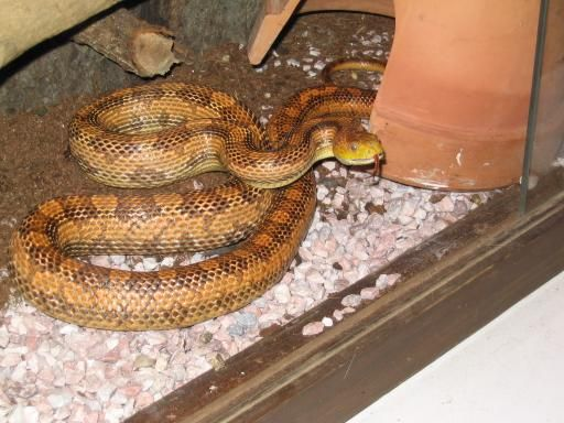 Pantherophis obsoletus quadrivittatus - Yellow Rat Snake