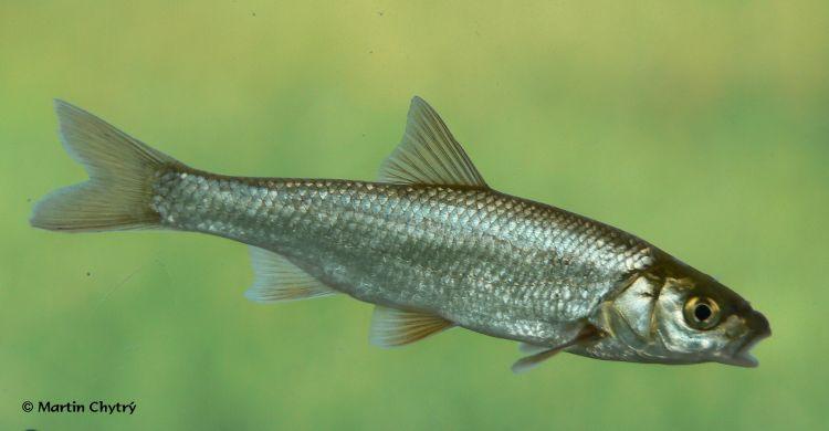 Image - Leuciscus leuciscus (Common Dace) BioLib.cz