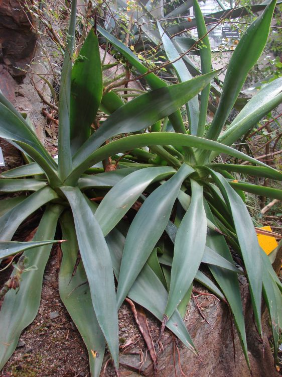 Agave evadens