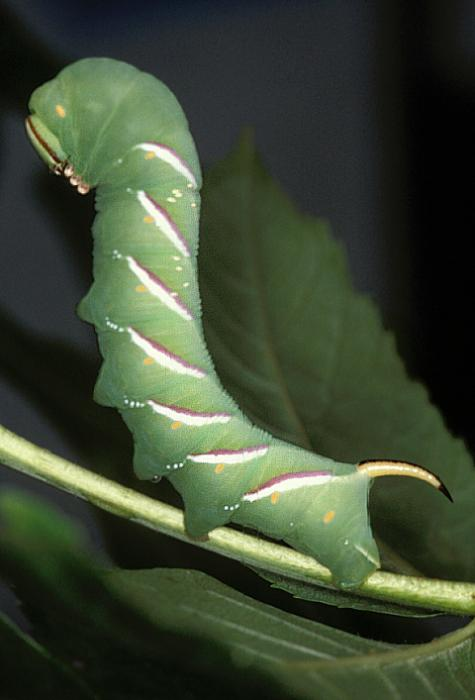 Sphinx ligustri - Privet Hawk-moth