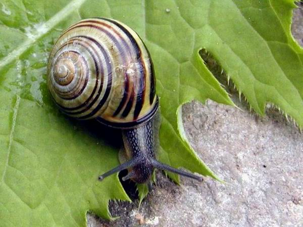 Cepaea nemoralis - Brown Lipped Snail