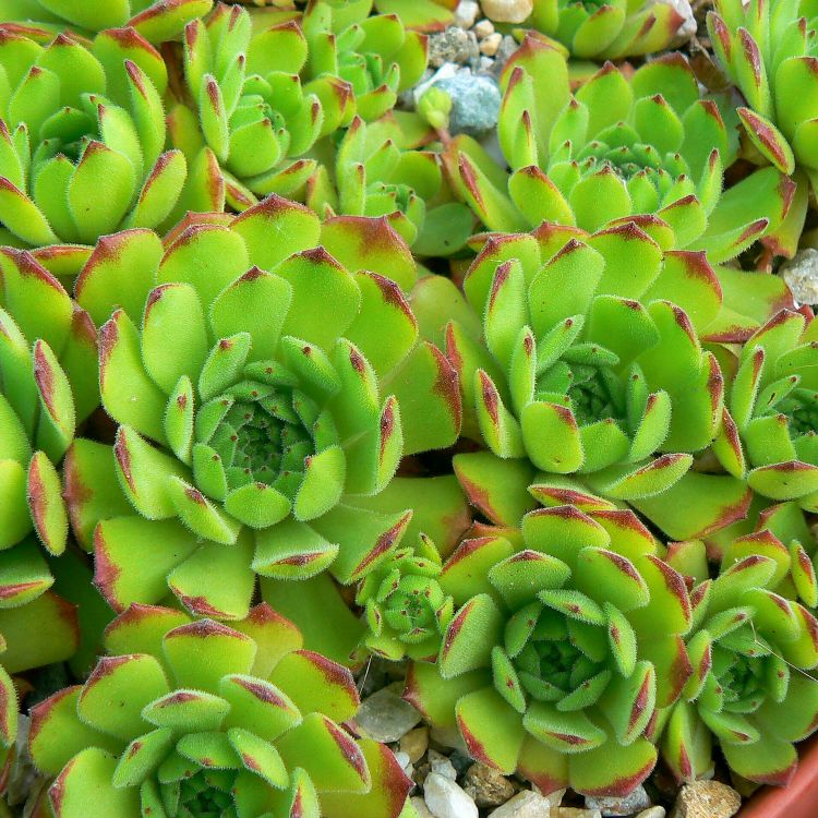 Sempervivum grandiflorum