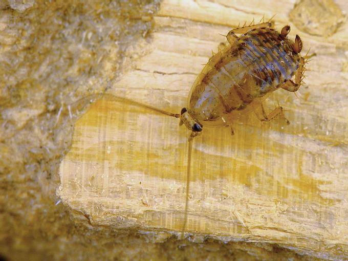 ist das eine bettwanze oder ein anderes krabbeltier tiere biologie insekten. Black Bedroom Furniture Sets. Home Design Ideas