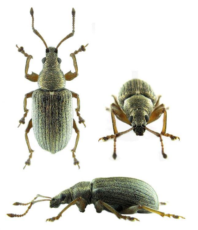Image Phyllobius Pyri Biolib Cz