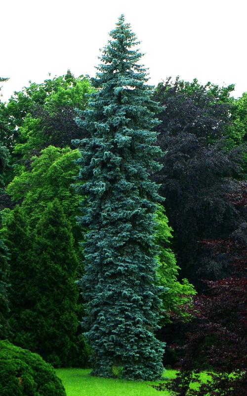 Image Picea Pungens F 252 Rst Bismarck Colorado Spruce