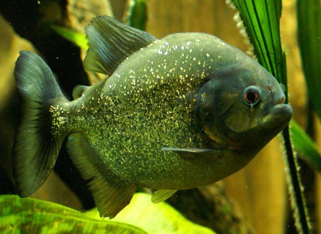 Image Pygocentrus Nattereri Red Bellied Piranha