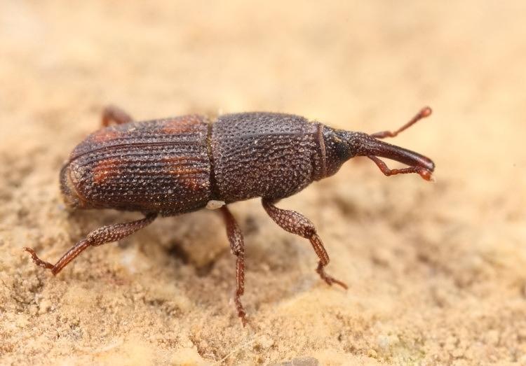 بالصور.. هذا اسم الحشرة التي اثارت الرعب في كركوك وهذا تفاصيل القضاء عليها