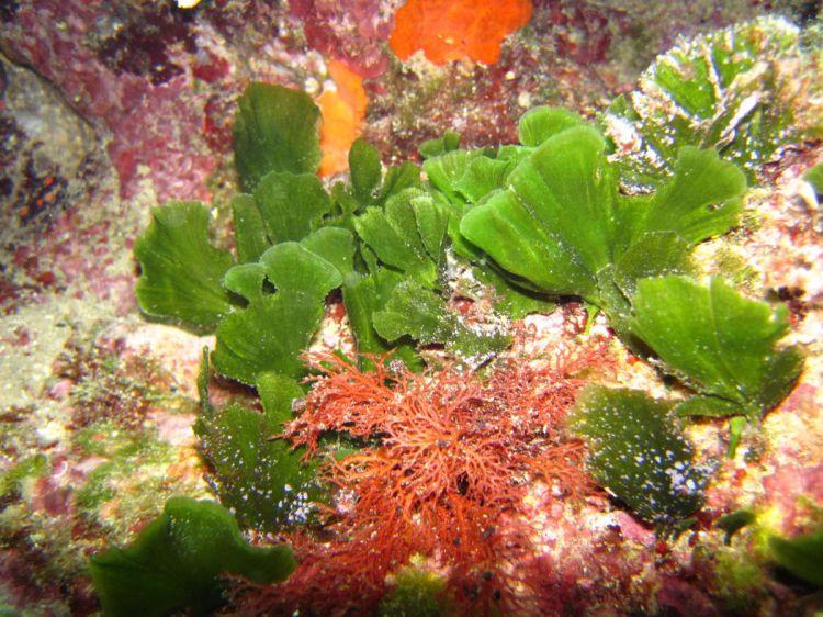 Flabellia petiolata 156780