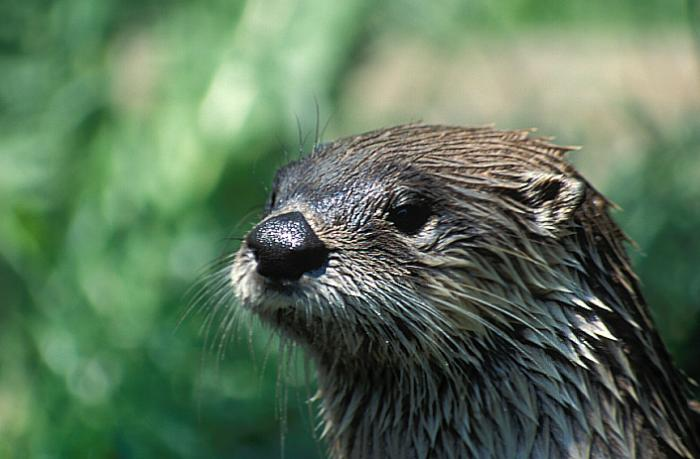 Lontra canadensis - Northern River Otter