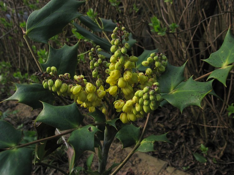 Mahonia bealei - Beale's Barberry