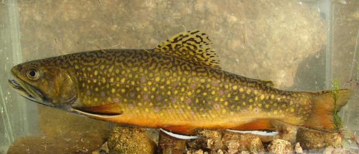 Salvelinus fontinalis - Brook Trout