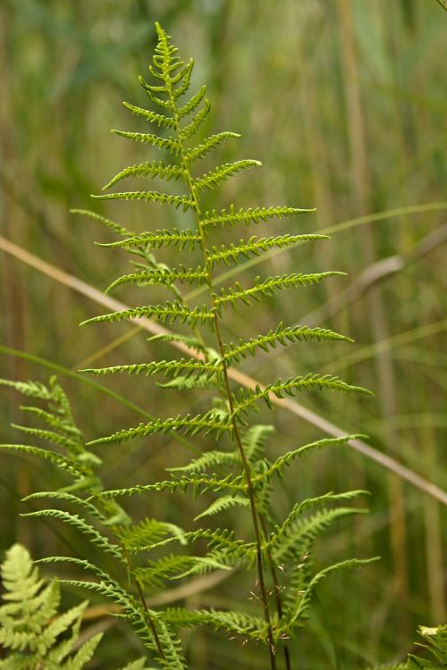Thelypteris palustris - Eastern Marsh Fern