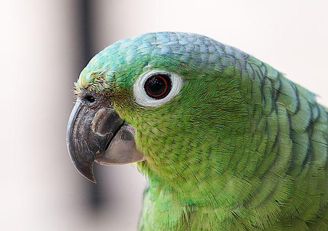 Amazona farinosa virenticeps - Mealy Parrot