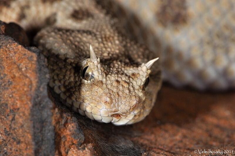 Cerastes Cerastes Horned Desert Viper