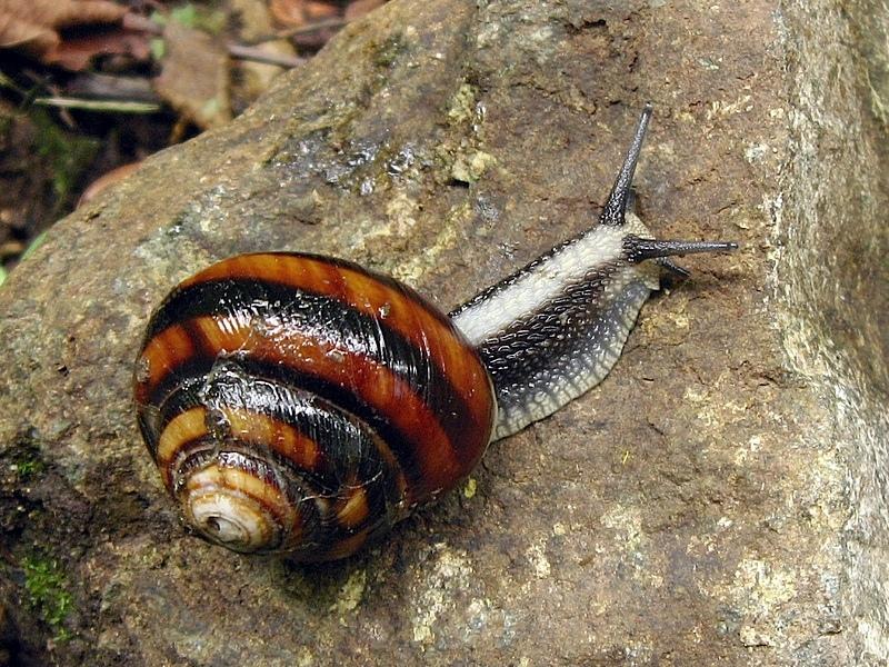 Caucasotachea calligera