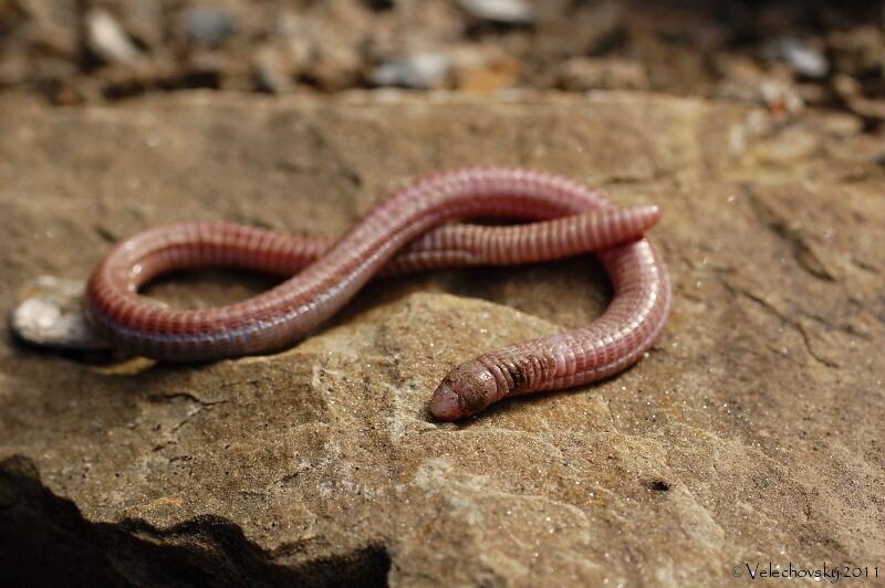Image Blanus Tingitanus Mediterranean Worm Lizard